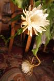 Shaku Flower 1