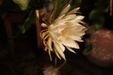 Shaku Flower 2