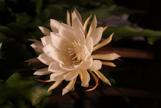 Shaku flower 3