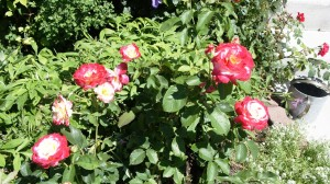 More Double delight roses