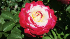 my Double delight rose